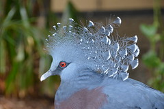 Victoria Crowned Pigeon (Goura victoria) (Seventh Heaven Photography) Tags: victoriacrownedpigeon crowned pigeon bird blue crested nikond3200 goura victoria gouravictoria nature wildlife