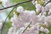 Prunus lannesiana 'Hisakura' (Masaoki Hirai) Tags: trioplanf28100 cherry blossoms prunus cerasus rosaceae cherryblossoms