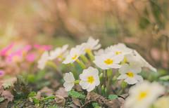Primrose (marcmayer) Tags: flower primel primrose garden natur nature bokeh dof depth field nikon d5200 nikkor 50mm f18 light soft