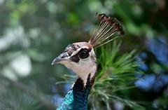 Mme Paon (Mystycat =^..^=) Tags: paon paonbleu parcbordelais france aquitaine oiseau bird caudéran bordeaux gironde coth5 ngc naturethroughthelens