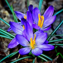 SPRING CROCUS (Wolf Creek Carl) Tags: plants flower blooms blue spring outdoors nature crocus flora