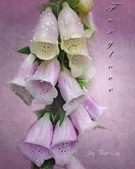 Foxglove (Jean Turner Cain) Tags: flower flora floral flowers bloem bloom fleur flor nature texture textured textures jeanturnercain