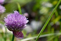 8/365 chives