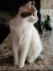 JoJo (Garen M.) Tags: jojo chip buttercup vintagelens companionanimals olympuspenf chicklet cats zuiko26mmf28