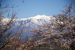 Snow Peaks with Sakura (tez-guitar) Tags: snow peaks sakura cherryblossom cherry blossoms bloom spring flower tree trees alpine mountain pentax pentaxart petal shinshu nagano