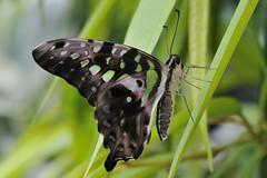Grüner Kolibri (RüdigerF) Tags: grünerkolibri tailedgreenjay vlindertuinvlindorado schmetterling butterfly mariposa schmetterlingsgartenvlindorado explore