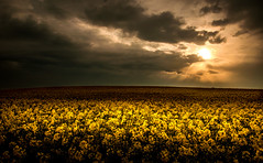 Shine Your Light On Me   [Explored] (RonnieLMills) Tags: rapeseed field dam road donaghadee newtownards yellow flower early morning light cloud sky landscape explore explored 1517 122