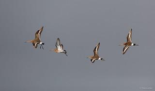 Grutto - Black-tailed Godwit - Limosa limosa -1084