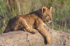 Sitting in the morning sun.... (Duncan Blackburn) Tags: 2017 big5 cat kenya masaimara lion mammal nikon nature wildlife ngc coth5 npc he