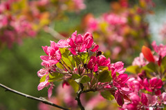 Mozirski gaj 2017 (DubeFranz) Tags: flowers park mozirskigaj tulip bee spring