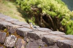 DSC09535 (ZANDVOORTfoto.nl) Tags: azoren azores 2017 trip geiser vulcano isle eiland furnas geyser riolo azoresbullfinchpyrrhulamurina rare bird vogel zeldzaam priolo são miguel bullfinch