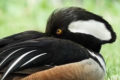 "Macro Mondays ""Eye"" (NaturewithMar) Tags: hooded merganser duck bird macro macromondays eyes 7dwf free theme nikoncoolpix b700"