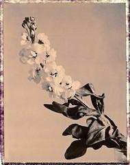 Muflier (JJ_REY) Tags: muflier snapdragon fleurs flowers polaroid chocolate pack100 expired expiré instantfilm peelapart toyofield 45a sironarn 150mmf56 epsonv800 colmar alsace france