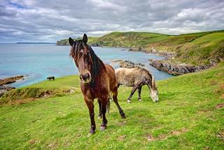 Wild Ponies Grazing By The Sea - Lansallos, Cornwall.