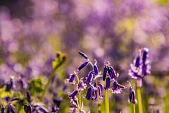 Spring in Billinge (ianbonnell) Tags: billinge billingehill billingebeacon sthelens wigan merseyside lancashire northwestengland england uk bluebells