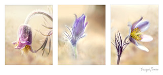 Three Pasque flowers.