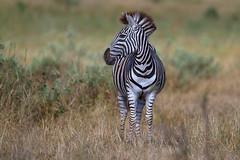 Burchell's Zebra (leendert3) Tags: burchellszebra ngc leonmolenaar krugernationalpark southafrica wildlife nature mammal npc sunrays5