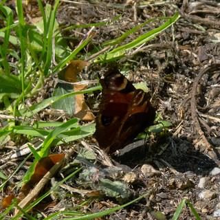 Peacock butterfly in short grass