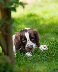 chip (Nigel Wallace1) Tags: puppy springer spaniel dog canine cute small animal mansbestfriend olympus omdem1 40150 pro young