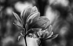 Remembering Former Splendour (AnyMotion) Tags: magnolia magnolie blossom blüte bokeh neighbourhood nachbarschaft backyard hinterhof 2017 anymotion frankfurt nature natur plants pflanzen 7d2 canoneos7dmarkii garden garten spring frühling primavera printemps bw blackandwhite sw ngc npc