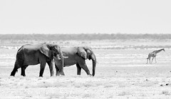 The plains of Africa. (pstone646) Tags: etosha elephants nature giraffe wildlife namibia animals fauna blackandwhite monochrome mammals antelope