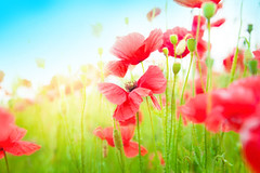 Gentle poppies in a field (wallmistwallpaper) Tags: anybody background beautiful beauty bloom blossom blossoming blue botany bud calm close color countryside delicate dream environment field floral flower fragrance fragrant garden green herbal landscape meadow memory nature nobody outdoor papaver petal plant poppy red rural scent season sky spring stamen summer sun sunny up warm weather weed wild