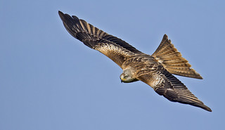 Red Kite - Photographers delight