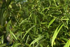 Koromiko. Hebe stricta. (nznatives) Tags: nz nznatives bayofplentynz autumn leaves bush koromiko hebe hebestricta