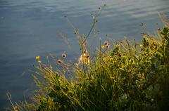 The sunlight kissing the growth by lake Vífilsstaðarvatn (thorrisig) Tags: 29072016 vífilstaðarvatn gróður kvöldsól vatn iceland ísland island icelandicnature thorrisig thorfinnursigurgeirsson þorrisig thorri thorfinnur þorfinnur þorri þorfinnursigurgeirsson sigurgeirsson sigurgeirssonþorfinnur dorres sunlight growth flowers flora blóm fjalldalafífill gras grass vater lake