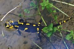Feuersalamander (Aah-Yeah) Tags: feuersalamander firesalamander salamander salamandra salamandridae caudata schwanzlurch weibchen larven bach achental chiemgau bayern