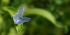 sua preziosità... (andrea.zanaboni) Tags: blu farfalla butterfly nikon macro insetti insects ali wings ngc