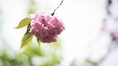 May Shower brings May Flowers (kuntheaprum) Tags: mayflower nikon d750 50mm f18 flowers
