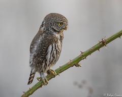 Northern Pygmy Owl (Robyn Cowan) Tags: northernpygmyowl owl