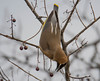 untitled-6763 (bobclark330) Tags: cedarwaxwing lakepark