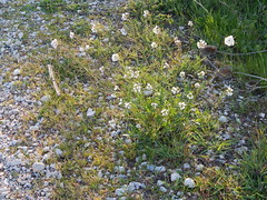Growing in the road (amgirl) Tags: spain 2017 navarra puentalareina march31 day2 evening