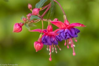 Fuchsia in EXPLORE.