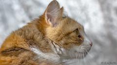 Haru Moine - 29042017-Nº 0980--2 (EduBa66) Tags: detalles pelaje feline retratofelino felinos gatos cats cat animalesdomesticos colorescalidos gato cariñosos mascotas animalesdomésticos catsportrait catportrait catphotography gatosdeargentina catphoto