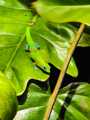 Gecko on Leaves