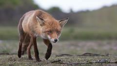 Walk on the wild site 2 (Alex Verweij) Tags: fox vos female vrouw vrouwtje mama hunting jagen wild nature natuur netherlands holland canon 5d alex verweij alexverweij