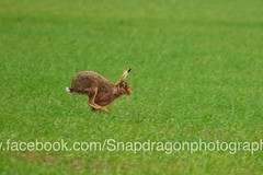 Hare Running For Cover (c9mpc) Tags: hare hares wildlife lincolnshire rasen rural green red illusive field running sprinting
