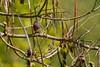 ERIC-0068 (TATIUMZI) Tags: france sudouest aquitaine dordogne montponménestérol ménestérol oiseaux nature rougequeuenoir juvénile canon canoneos eos 400d canoneos400d sigma sigma120400