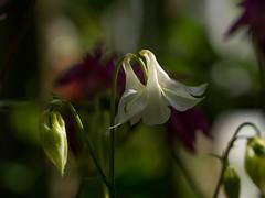 "Aquilegia ""Simone's White"" (columbine) (Unni Henning (also Instagram @unnikarin59)) Tags: aquilegia'simone'swhite'columbine columbine white closeup spring may outdoor nature plant blossom sunshine bokeh bokehbackground warwickshire england narrowdepthoffield"