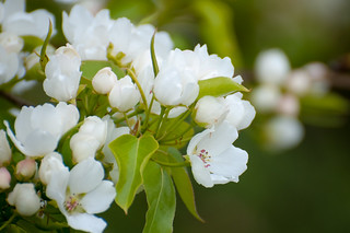 Cerisiers blancs