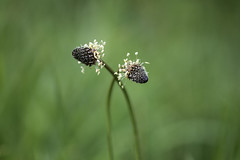we two (Emma Varley) Tags: plant grass seeds white darkhead two entwined pair romantic dreamy soft beautiful bokeh stems