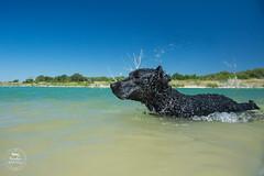 19/52 Nemo (- Una -) Tags: 52weeksfordogs nemo curly curlycoatedretriever ccr retriever curlydog dog animal blackdog blackcurlycoatedretriever texas