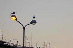 Seagulls Hanging Out (Lefte7) Tags: evening sky seagulls animal animalplanet bird birds macedoniagreece makedonia timeless macedonian macédoine mazedonien μακεδονια