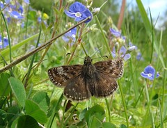 Erynnis tages (rockwolf) Tags: erynnistages dingyskipper butterfly lepidoptera papillon speedwell veronica nantmawr sig shropshireinvertebrategroup shropshire rockwolf