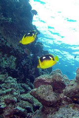 reefers (BarryFackler) Tags: chaetodonquadrimaculatus fourspotbutterflyfish butterflyfish cquadrimaculatus lauhau honaunaubay marinelife hawaiidiving seacreature saltwater pacific reef aquatic scuba ocean marinebiology biology zoology undersea organism konadiving fauna life animal marine being bat outdoor sea coralreef sealife diving water ecology underwater pacificocean honaunau dive bigislanddiving sandwichislands marineecology vertebrate sealifecamera ecosystem creature marineecosystem coral barryfackler barronfackler bigisland westhawaii tropical polynesia 2017 nature hawaii island hawaiicounty hawaiiisland kona hawaiianislands southkona diver