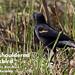 Red-shouldered Blackbird, Agelaius assimilis