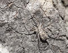 Hersiliidae Tamopsis fickerti (Allan Lance) Tags: hersiliidae tamopsis twintailspider poocher southaustralia ajl